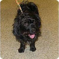 Adopt A Pet :: Little Terrier - Lucerne Valley, CA