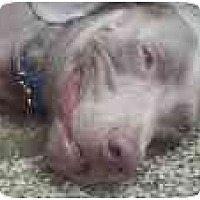 Adopt A Pet :: Piper  **ADOPTED** - Eustis, FL