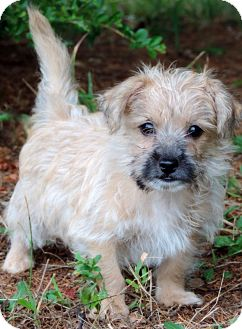 Yorkie, Yorkshire Terrier/Poodle (Toy or Tea Cup) Mix Puppy for adoption in Anderson, South Carolina - Owen