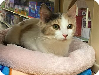 Calico Kitten for adoption in Centerton, Arkansas - Frankie