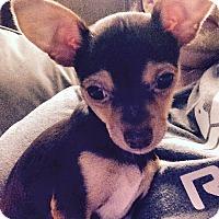 Adopt A Pet :: Charlie Cline - Shawnee Mission, KS