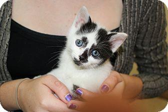 Siamese Kitten for adoption in El Dorado Hills, California - Charley