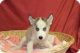Husky Mix Puppy for adoption in Waldorf, Maryland - Shesh