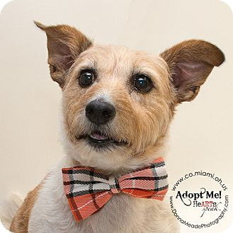 Jack Russell Terrier Dog for adoption in Troy, Ohio - Benji
