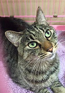 Domestic Shorthair Cat for adoption in Napa, California - Bogart