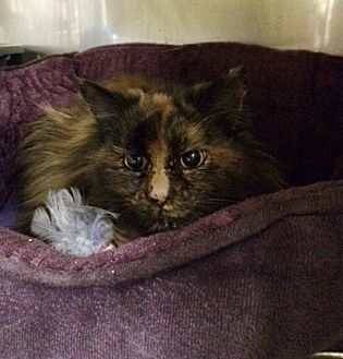 Domestic Longhair Cat for adoption in Byron Center, Michigan - Noella
