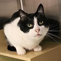 Domestic Shorthair Cat for adoption in Los Angeles, California - Buckaroo Banzai