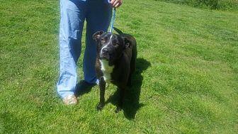 Labrador Retriever/Terrier (Unknown Type, Medium) Mix Dog for adoption in Asheboro, North Carolina - Dwayne