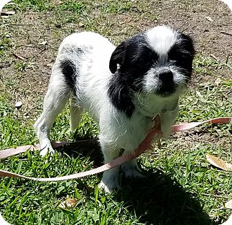 Pekingese/Terrier (Unknown Type, Small) Mix Dog for adoption in Houston, Texas - Beatle