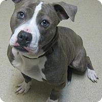 Adopt A Pet :: Misty - Gary, IN