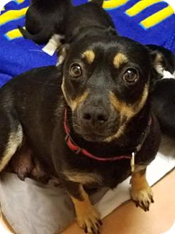 Pembroke Welsh Corgi/Terrier (Unknown Type, Small) Mix Dog for adoption in Miami, Florida - S/C Sophie