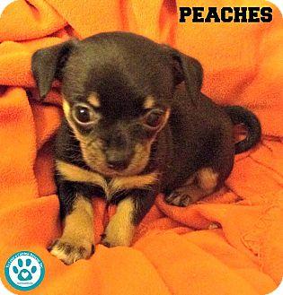 Chihuahua/Miniature Pinscher Mix Puppy for adoption in Kimberton, Pennsylvania - Peaches