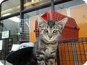 Domestic Shorthair Kitten for adoption in Elyria, Ohio - Rhiannon