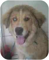 Collie/St. Bernard Mix Puppy for adoption in Powell, Ohio - Sampson