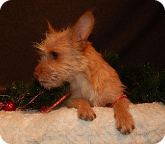 Cairn Terrier/Terrier (Unknown Type, Medium) Mix Dog for adoption in Old Fort, North Carolina - AJ
