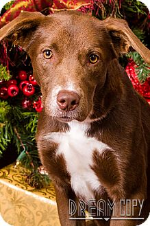 Labrador Retriever Mix Dog for adoption in Owensboro, Kentucky - Sweetie