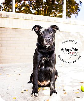 Labrador Retriever Mix Puppy for adoption in Charlotte, North Carolina - Cordelia (Buffy Litter)
