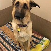 German Shepherd Dog Dog for adoption in Scottsdale, Arizona - Brisa