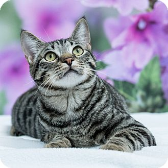 Domestic Shorthair Cat for adoption in Houston, Texas - Shiloh