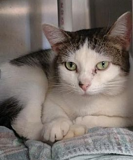 Domestic Shorthair/Domestic Shorthair Mix Cat for adoption in Ashtabula, Ohio - Ruby
