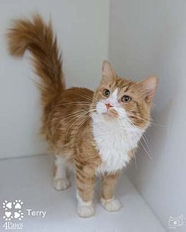 Maine Coon Cat for adoption in Merrifield, Virginia - Terry