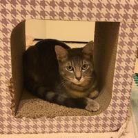 Adopt A Pet :: Charlie Finch - Fountain Hills, AZ
