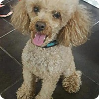 Poodle (Standard) Dog for adoption in Freeport, New York - Cookie