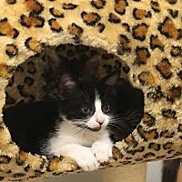Adopt A Pet :: Puss n Boots - Nuevo, CA