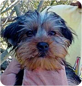Yorkie, Yorkshire Terrier Puppy for adoption in Spring Valley, California - Bosco