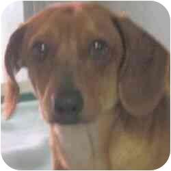 Dachshund Puppy for adoption in Berkeley, California - Logan