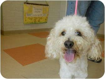 Poodle (Miniature) Mix Dog for adoption in West Deptford, New Jersey - Casper