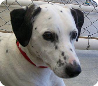Dalmatian Mix Dog for adoption in Grants Pass, Oregon - Walker