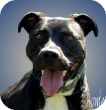 American Pit Bull Terrier Mix Dog for adoption in Coldwater, Michigan - Bowie - TRAINED