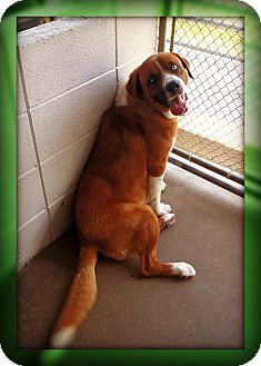 St. Bernard Mix Dog for adoption in Beaumont, Texas - Chester