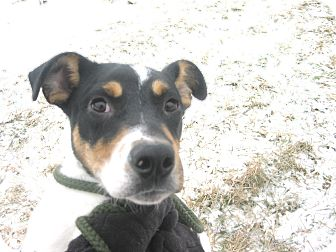 Beagle/Jack Russell Terrier Mix Dog for adoption in Zanesville, Ohio - #028-14  @ Animal Shelter