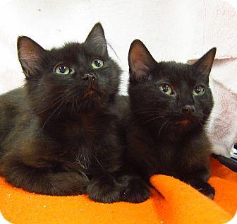 Domestic Mediumhair Kitten for adoption in Roseville, Minnesota - Neville & Nora, cuddly & sweet