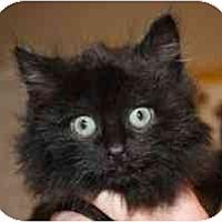 Adopt A Pet :: Tinsel - Markham, ON