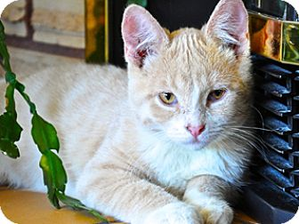Domestic Shorthair Kitten for adoption in Great Falls, Montana - Georgie