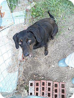 Terrier (Unknown Type, Medium) Mix Dog for adoption in Osceola, Arkansas - Momma