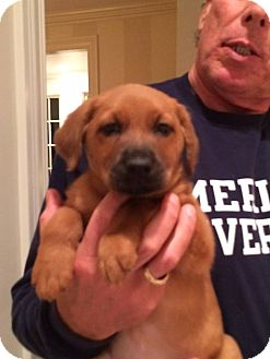 Hound (Unknown Type) Mix Puppy for adoption in Brazil, Indiana - Bear