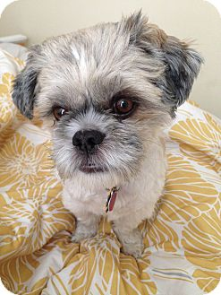 Shih Tzu Mix Dog for adoption in Austin, Texas - Theodore