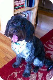 Poodle (Miniature)/Wheaten Terrier Mix Dog for adoption in Decatur, Georgia - Polo