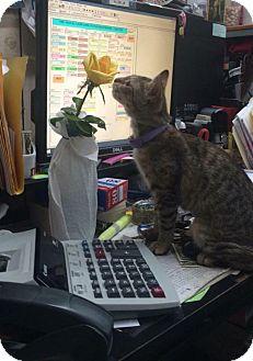 Domestic Shorthair Kitten for adoption in Sterling Heights, Michigan - Yogi