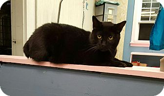 Domestic Shorthair Cat for adoption in Maryville, Illinois - Magic
