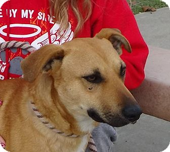 Shepherd (Unknown Type)/Labrador Retriever Mix Dog for adoption in Red Bluff, California - ROCKLAND