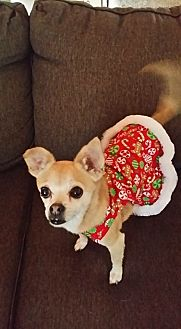 Chihuahua Mix Dog for adoption in Rancho Cucamonga, California - MINNIE