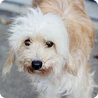 Adopt A Pet :: Tango - Norwalk, CT