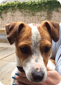 Jack Russell Terrier Dog for adoption in San Antonio, Texas - Darwin in McAllen
