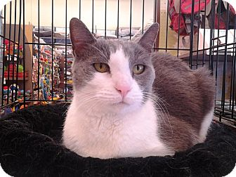 Domestic Shorthair Cat for adoption in Richmond, Virginia - Katherine