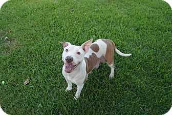 Pit Bull Terrier Mix Dog for adoption in Joshua, Texas - Shadow